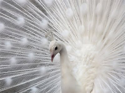 whie peacock,photography,white-9e74790a0faa8f262d0d6527ebb751bc_h