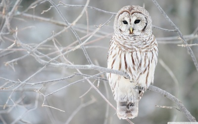 white_owl-wide